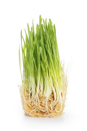 fresh oat sprouts for cats or humans, isolated on white photo