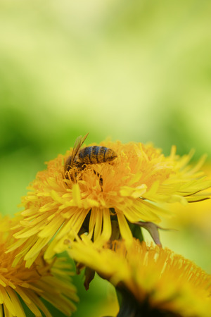 wasp collecting nectar on dandelios, close up photo