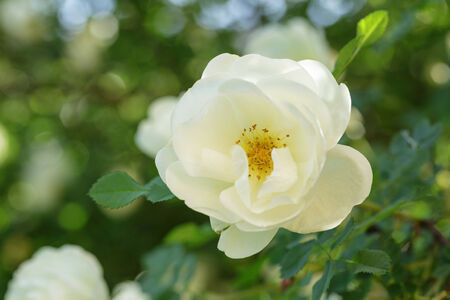 briar: white rose briar blooming, outdoor close up