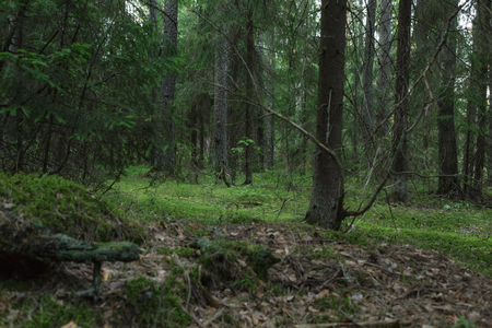 uncultivated: wild russian pine forest, uncultivated nature mystery