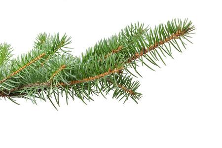 evergreen branch: rama de abeto verde para la Navidad, aislado en blanco