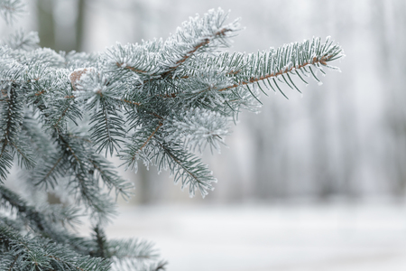 winter background with frosty fir branches, copy space on the right
