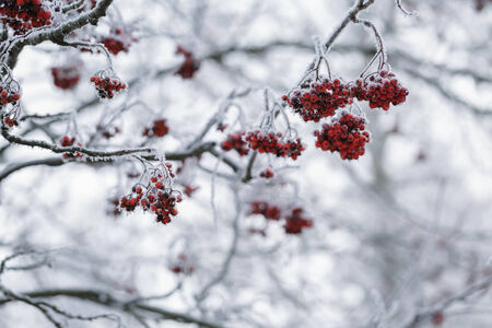 rowanberries covered with hoarfrost in the winter morning, seasonal photo photo
