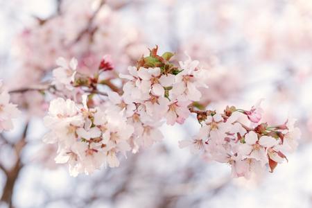 colores calidos: sakura en flor cerca de la foto, los colores c�lidos Foto de archivo