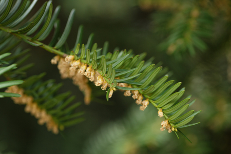 muz: Yew or Taxus baccata green leaves and flowers, close up