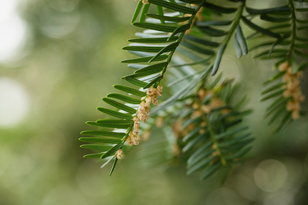 Yew or Taxus baccata green leaves and flowers, close up