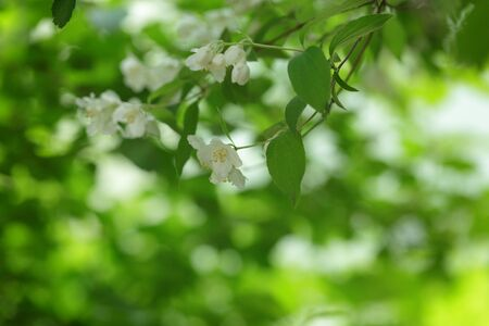 jasmine bush: jasmine flowers on the bush closeup Stock Photo