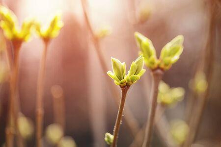 arbol de pascua: primeros brotes de primavera en el arbusto de lila Foto de archivo