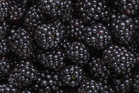 freshly picked: freshly picked organic blackberries