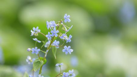 lookalike: brunerra flowers in bloom close up