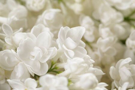 lilac: macro photo of white lilac flowers, shallow focus