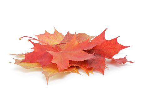 sear and yellow leaf: heap of colorful maple autumn leaves isolated on white background