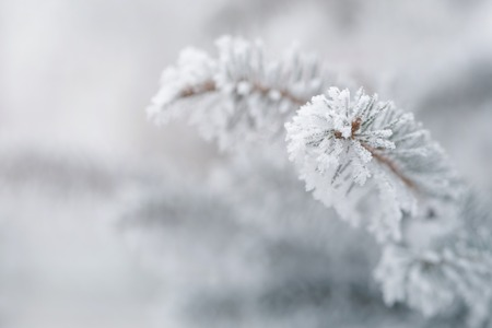 hoar: fir covered with hoar frost closeup photo, vintage toned