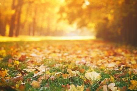 ensolarado: folhas de outono caídas na grama na luz da manhã ensolarada, foto tonificada