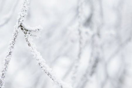 very cold: closeup photo of branch covered with frost, very cold weather