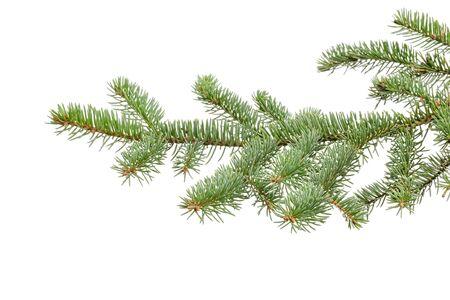 grünen Tannenzweig isoliert auf weißem Hintergrund