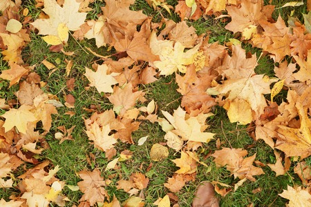 fall landscape: autumn maple leaves on the ground in grass, fall season