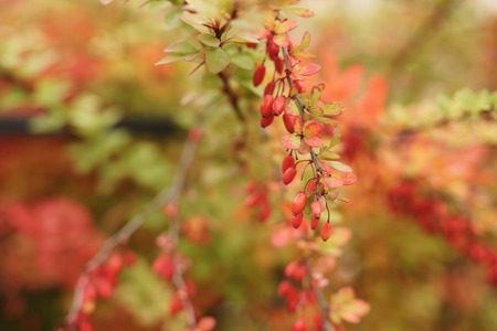 barberry: barberry berries on the bush in autumn, shallow focus Stock Photo