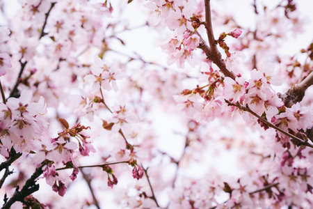 sakura flowers in bloom, spring time photo