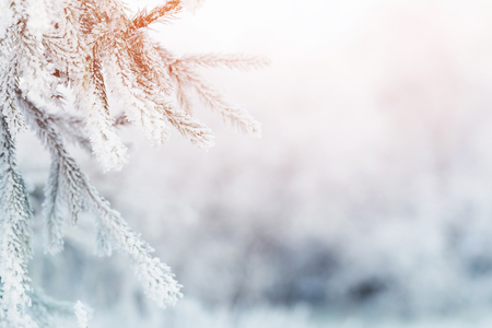 cold season: fir branch in hoar frost on cold morning, toned photo Stock Photo