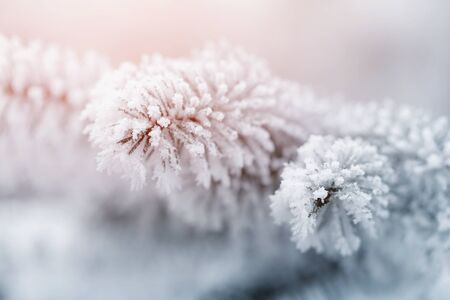 hoar: fir branch in hoar frost on cold morning, toned photo Stock Photo