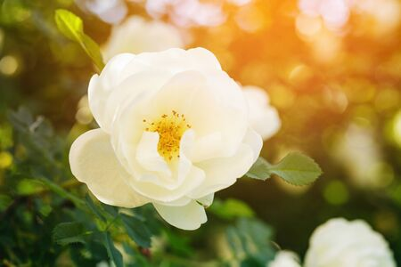 briar: rose briar bush flowe in sunset light, vintage toned Stock Photo