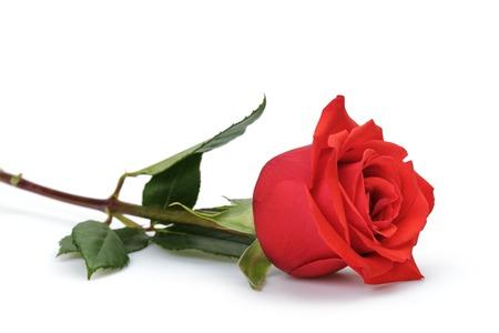 één heldere rode roos op witte achtergrond Stockfoto