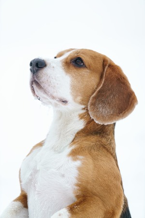 funny beagle dog outdoor funny portrait in winter, shallow focus