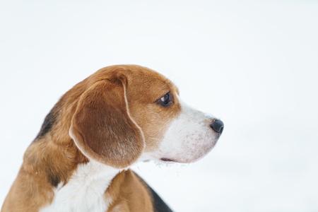 sad beagle dog outdoor portrait walking in snow, shallow focus Stock Photo