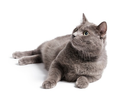 colouration: gray cat with green eyes lying on white background Stock Photo