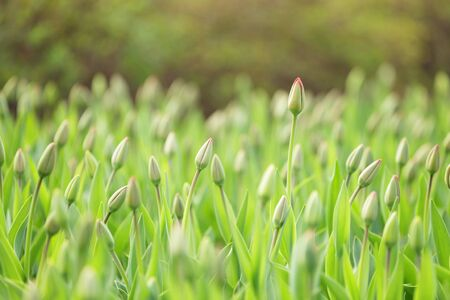 unopened: unopened tulips in city flowerbed springtime, closeup