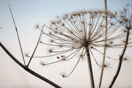 wizened: dry cow parsnip plant on field in early spring, shallow focus
