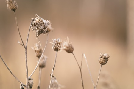 bur: dry bur grass on rural field in early spring, shallow focus Stock Photo
