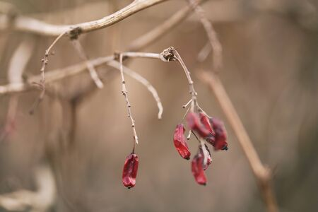 barberry: barberry branch in spring with dry berries, shallow focus Stock Photo