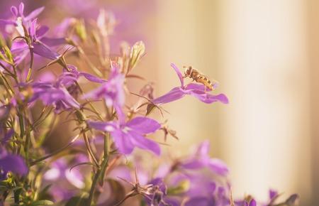 lobelia: closeup photo of lobelia flowers with insect, toned photo Stock Photo