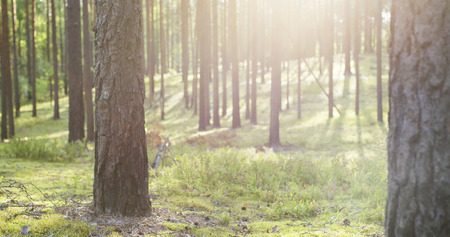 peaking: summer pine forest in sunny day, 4k photo