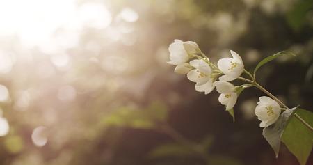 jessamine: jasmine white flowers in sunset light, 4k photo Archivio Fotografico