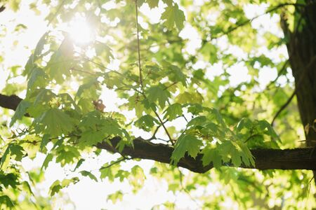 peaking: young maple leaves in sunny spring day, sun peaking through