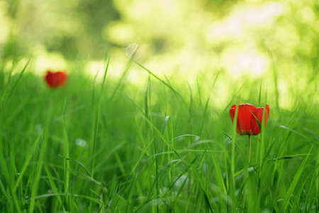 tulips in green grass: two red tulips in green spring grass, focus on grass Stock Photo