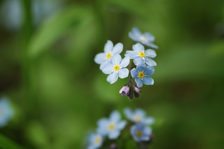 forget me not: forget me not flowers in spring sunny day, shallow focus