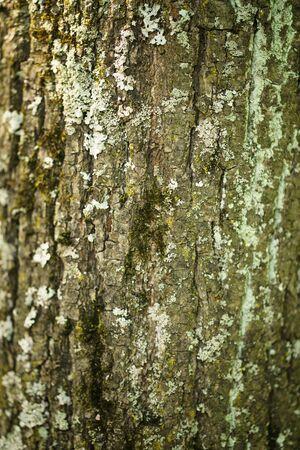linden tree: linden tree bark closeup background, shallow focus
