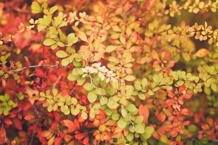 slightly: barberry leaves in autumn season, slightly toned photo Stock Photo