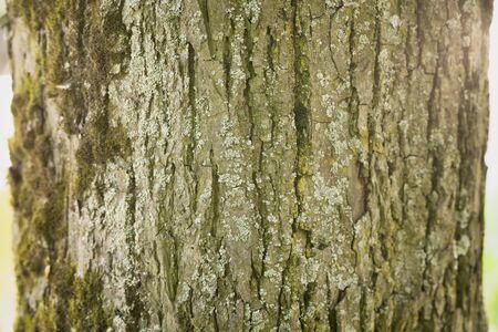 tilo: linden tree bark closeup background, shallow focus