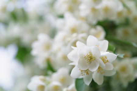 jasmine bush: dense jasmine bush blossoming in summer day, shallow depth of field