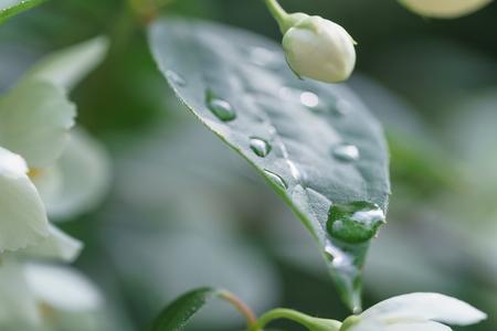 jasmine bush: jasmine bush after rain close up photo Stock Photo
