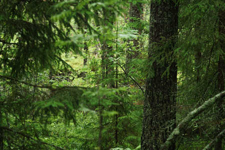 forested: wet green summer forest of karelia, after rain