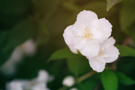 close up photo of beautiful jasmine blossom in evening sunset light, shallow depth of field Stock Photo