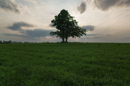 field maple: oak and maple grow together on green field in sunset light