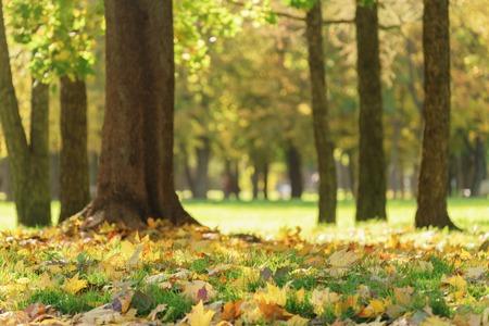 alter Ahornbaum mit Blättern auf dem Boden, Herbstsaison Standard-Bild