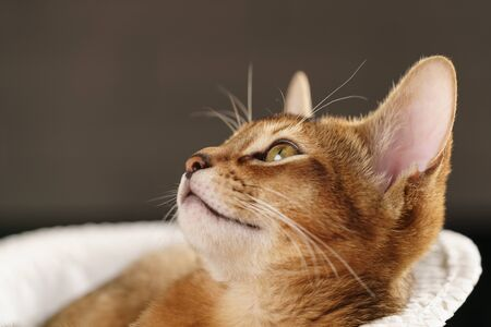 Purebred sleepy abyssinian kitten resting in hat looking upwards, shallow focus Stock Photo